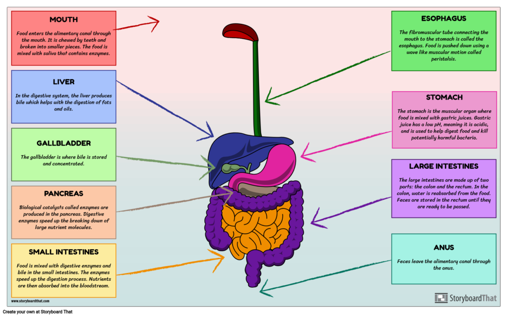 Digestive Enzymes And Their Functions Table